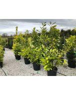 Cherry Laurel Hedging 30 Litre Pot Grown 170-180cm