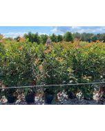 Photinia Crunchy 18 Litre Pot 125/130cm