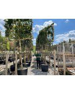 Carpinus Betulus Lucas Full Standard With Pleached 150cm x 180cm Wide Frame