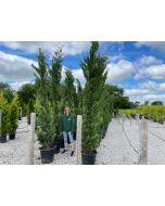 Green Leylandii Hedging 50 Litre Pot 3 - 3.5 Metre