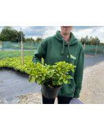 Pachysandra Terminalis Green Sheen 2/3 Litre Pot
