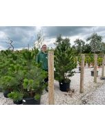 Pinus Nigra Austriaca Wire Root Ball Potted 125cm