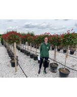 Photinia Red Robin Heavy Half Standard 35 Litre Pot