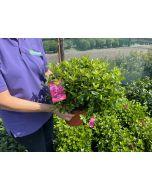 Azalea Japonica Gilbert Mullie 3 Litre Pot