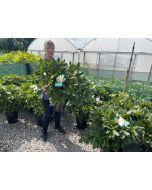 Rhododendron Hybrid Tortoise Orange 10 Litre Pot
