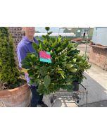 Rhododendron Hybrid Red Jack 7.5 Litre Pot