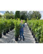 Laurus Nobilis Sweet Bay Laurel Hedging 18 Litre Pot 140/160cm