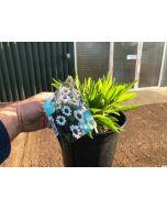 Echinacea White Meditation 2 Litre Pot