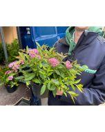 Spiraea japonica Shirobana 3 Litre Pot