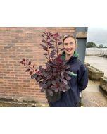 Cotinus cog. Royal Purple 5 Litre Pot