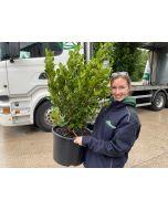 Griselinia Littoralis Green Horizon 30 Litre 80/90cm Extra wide