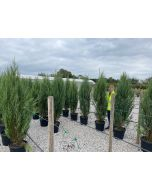 Juniperus Scopulorum Blue Arrow 30 Litre Pot 170cm