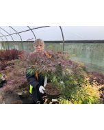 Acer palmatum dissectum Garnet 10 Litre Pot