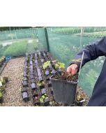Geranium Rozanne 2 Litre Pot