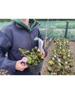 Geranium Wargrave Pink 2 Litre Pot
