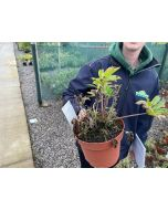 Good strong plants, coming to the end of the flowering period