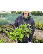 Salvia May Night 3 Litre Pot