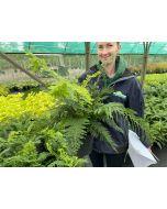 Dryopteris affinis 7 Litre Pot