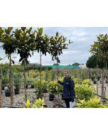 Magnolia Grandiflora Gallisoniensis Full Std 6/8cm G
