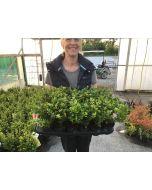 Ilex Crenata Dark Green 9 cm  Pot x 18 plants