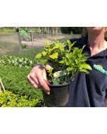 Pachysandra Green Carpet 1.5 Litre Pot
