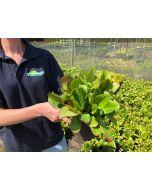 Bergenia Cordifolia 2 Litre Pot