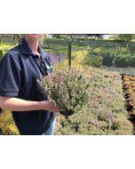 Thymus Silver Posie 1.3 Litre Pot