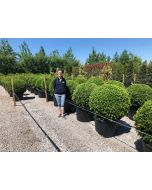 Buxus Or Box Ball 90cm+ Diameter 110 Litre Pot