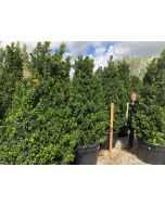Ilex meserveae Heckenstar Root Ball  200-210cm Extra Wide Heavy