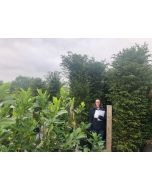 Yew Hedging Wired Root Ball Extra Wide 225-250 cm