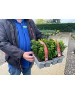 Box Hedging 12 Plants in a Tray 15cm