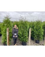 Juniperus Scopulorum Blue Arrow 35 Litre Pot 150cm