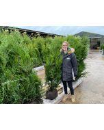 Thuja plicata Atrovirens Root Ball 150/175cm Order for November
