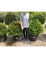 Yew Ball 110 Litre Pot 80 cm