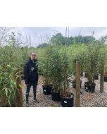 Phyllostachys Aurea Golden Bamboo 30 Litre Pot 150/200