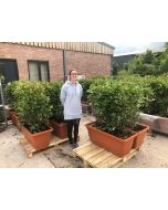 Photinia Red Robin Planted Screen 1 metre long x 1.2 Metre Tall