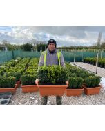Box Hedging Instant Hedge Trough 40cm Tall & 60cm Long