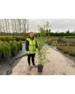 Bamboo Phyllostachys Humilis 5 Litre Pot 150/165cm