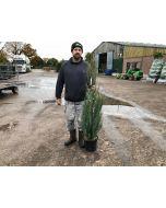 Juniperus Blue Arrow 10 Litre Pot