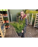 Juniperus Mint Julep 10 Litre Pot