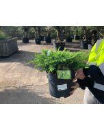 Juniperus co. Schlager 7.5 Litre Pot