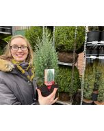 Juniperus Ch. Stricta 2 Litre Pot