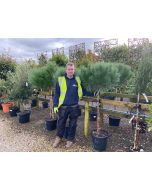Pinus Pinea 25 Litre Pot Half Standard