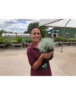 Helichrysum Korma 3 Litre Pot