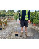Salix integra Flamingo 4 litre Pot 80cm Stem