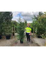 Green Leylandii Hedging 15 Litre Pot 180-200cm