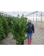 Laurel Hedging Root Ball 150/175cm Extra Wide Pre Order