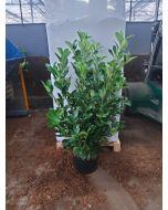Laurel Hedging 25 Litre Pot 190/210cm