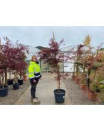 Acer palmatum Garnet Tower 35 Litre Pot