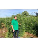 Green Leylandii Hedging Root Ball 175/200cm Pre Order